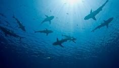 Requins pèlerins
